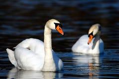 Free Swan Stock Photos - 2088383