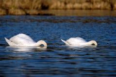 Swan. Couple, Bavarian (nature park Zellsee). Spring Royalty Free Stock Image