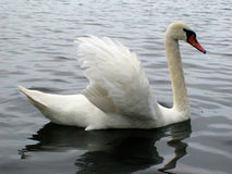 Swan. A lonely swan on a lake Royalty Free Stock Photo