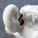 Swan. Making his morning toilet stock photos