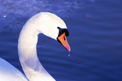 Swan. Close-up royalty free stock image