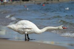 Free Swan Royalty Free Stock Photo - 21667035