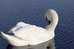 Swan. Royalty Free Stock Photography