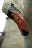 Swan. Looking down Royalty Free Stock Images