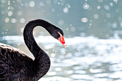 The swan Stock Image