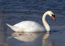 Free Swan Stock Images - 2265414
