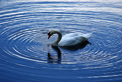 A swan stock photos