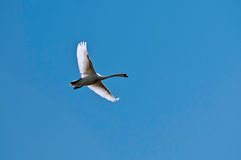 Swan. A beautiful swan in the sky Stock Photos