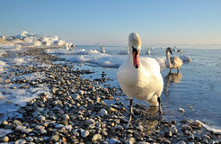 Swan. A swan in the winter Stock Photography