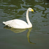 A swan. A white swan in the lake is waiting for food Royalty Free Stock Photo