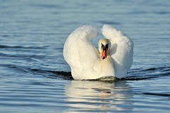 Swan. A swan at the swimming Royalty Free Stock Photo