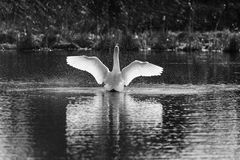 Swan. A swan spreads its wings at the pond Royalty Free Stock Photo