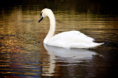 Swan. A swan in the lake waters, sunshine Stock Images