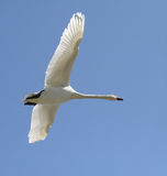 Swan. Flying in the blue sky Stock Photo