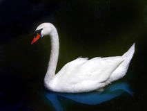 Swan. Isolated swan with a black background Royalty Free Stock Photo