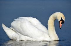 Swan. And the water droplets on the sea Stock Images
