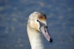 Swan. 's head against sea background Royalty Free Stock Photography