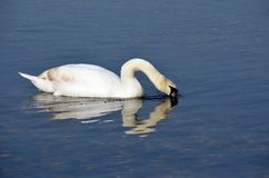 Swan. Drinking from the sea Royalty Free Stock Photography