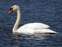 Swan. Swimming on the lake and looking for food Stock Image
