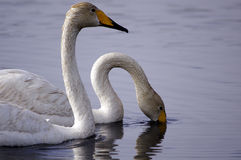 Swan. Two swan in the lake Stock Images