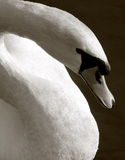 Swan. Head, black and white Stock Photo