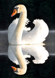 Swan. White swan on the lake Royalty Free Stock Images