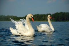 Swan. Two beautiful swan in lake stock photo