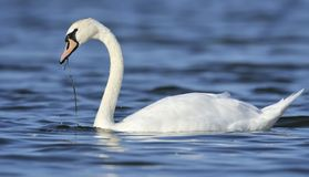 Swan. A swan is floating in the water and eating a water plaint. Drops of water are falling off the swan's beak and neck Royalty Free Stock Photo
