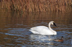 Swan. A swan swimming in Potter Marsh in the fall Stock Photos