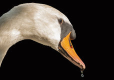 Swan. It is swan with a drop in its beak Royalty Free Stock Image
