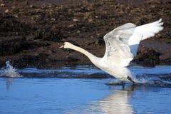 Swan. Running to take off Stock Image