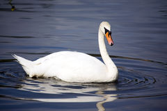 Swan. And reflection in a pond in a sunny day Royalty Free Stock Image