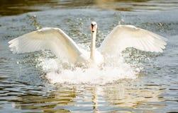 Free Swan Stock Photo - 29705230