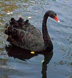 Swan. Black swan Royalty Free Stock Images