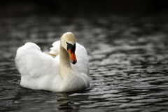 Free Swan Stock Images - 36144684