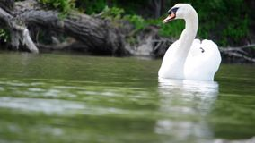 Free Swan Royalty Free Stock Images - 36871949