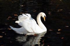 Free Swan Royalty Free Stock Photo - 37096725