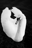 Swan. Single swan on dark sea Royalty Free Stock Image