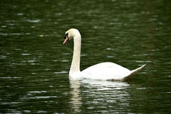 Swan. This was taken at swan lake at botanic garden Royalty Free Stock Image