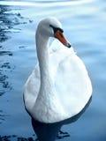 Swan. Swiming swan Stock Photos