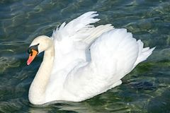 Swan 4 Stock Image