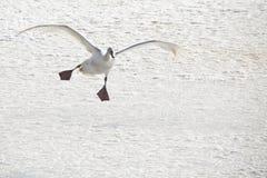 Swan 4 Royaltyfria Bilder