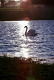 Swan. Silhouette of a swan on a lake, England Royalty Free Stock Image