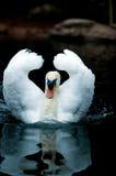 Swan. Swimming swan Stock Photo