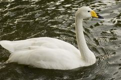 Swan. White swan swimming in water Royalty Free Stock Images