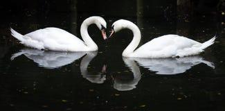 Swan arkivfoton