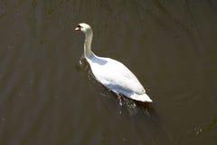 Swan Fotografering för Bildbyråer