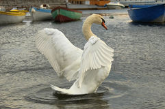 Swan. A white swan stretching its wings while swimming on lake royalty free stock photography