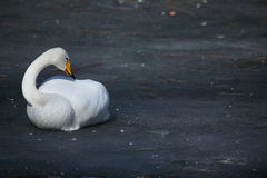 Swan. A swan laying on the ice stock image