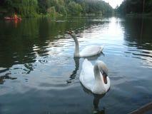 swan 2 Obraz Stock